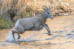 Young Bighorn jumps into the river