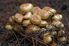 Fungi_3208 (jan_2j) Tags: fungi macro pentax k1 lommel nature mushrooms