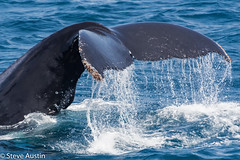 Humpback Whale (stevepaustin) Tags: humpback ocean raw sealife tail water whale goldcoast australia queensland fluke