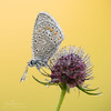 Polyommatus icarus (Yvan Barbier) Tags: azurécommun insecta insectes lepidoptera lycaenidae lépidoptères papillons polyommatusicarus polyommatussp rhopalocera rhopalocères nikon d850