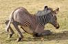 grevy zebra artis BB2A2574 (j.a.kok) Tags: zebra grevyzebra grevy´szebra equusgrevyi equus artis animal zoogdier dier mammal herbivore afrika africa
