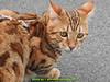 gio_k2_2017_08_383 (giordano torretta alias giokappadue) Tags: abetone bengala gastone gatto kat