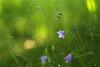 Solace (siebensprung) Tags: meadow wiese bluebell glockenblume campanula plant pflanze grün green nature natur wildflower flower blume blüte wildblume