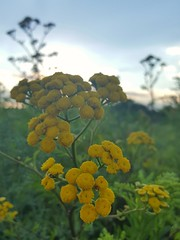 Tanacetum vulgare (Iggy Y) Tags: tanacetumvulgare tanacetum vulgare summer blossom flower yellow color flowers green leaves nature field plant običnivratić vratić tansy goldenbuttons sunny day light sun sky cloud