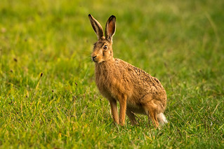 Brown Hare with big whiskers in Norfolk, UK (3)
