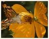 Painted Lady and Stink Bug (gauchocat) Tags: arizonasonoradesertmuseum pimacountyarizona
