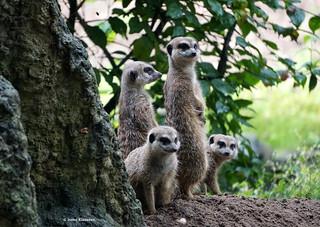 Meerkats, Ouwehands Zoo, Rhenen, the Netherlands