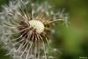 Dans le vent ! (Milucide en intermittence !) Tags: pissenlit vent graines rêverie