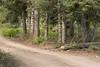Less Hidden (stochastic-light) Tags: landscape deer muledeer buck wildlife zionnationalpark kolobterrace lavapoint trees forest dirtroad nikon d810 zeiss carlzeiss milvus2135 milvus135 apo apochromatic utah nature spring