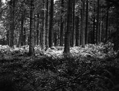 IMG_20170726_0009 (Filmphotographic98) Tags: film photography medium format shootfilm forestry trees woodland ferns tunnel bristol somerset