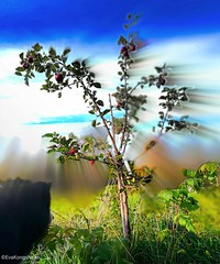 My no 2 apple tree, seen here with its good energy. Eva is in paradise 😄 (evakongshavn) Tags: anappleaday apple appletree tree red green colorful colourful goodeats stayinghealthy energy healthy zoomburst zoom