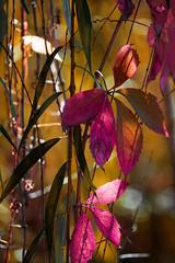 colorful sunshine (mariola aga) Tags: autumn leaves color change sunshine sunlight light shadows bokeh alittlebeauty coth