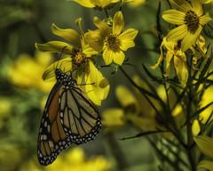 MonarchButterfly_SAF4580-2 (sara97) Tags: danausplexippus butterfly endangered insect missouri monarch monarchbutterfly nature outdoors photobysaraannefinke pollinator saintlouis towergrovepark