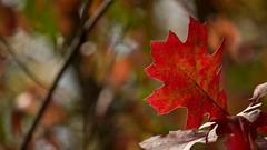 Autumn - Must be time to 'Leave' (Bob's Digital Eye) Tags: 2017 autumn autumnleaves back30 backlit bobsdigitaleye canon canonefs55250mmf456isstm fall fallcolor flicker flickr foliage organicpattern organicstructure organictexture t3i depthoffield bokeh red leaf leaves macro