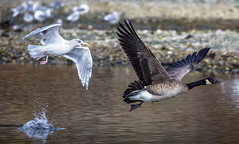 The Chase (Paul Rioux) Tags: avian nature bird birdsinflight seagull gull canada goose theft chase pursuit heist prioux