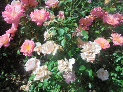 247 (en-ri) Tags: roselline little roses sony sonysti cespuglio verde rosa leaves foglie
