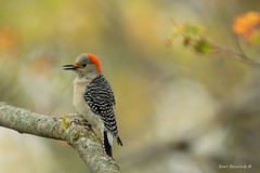 Red-bellied Woodpecker (Earl Reinink) Tags: bird animal perch autumn color earl reinink earlreinink nature naturephotography woodpecker redbelliedwoodpecker red leaves ehadhadaia sing song