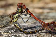 2017_22515 (niek haak) Tags: dragonfly dragonflies odonata libel sympetrumstriolatum bruinrodeheidelibel copula mating paring matingwheel paringswiel