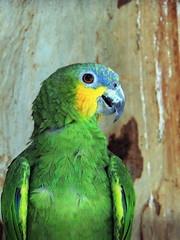 Parrot (markb120) Tags: bird fowl flyer flier plumage feathering feather coverts coat dress beak bill pecker rostrum neb nib eye head animal fauna