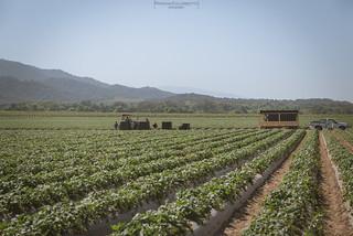 Strawberries crop