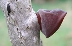 Аурикулярія вухоподібна, Іудине вухо (Auricularia auricula-judae) (Gansucha) Tags: auricularia ascomycota fungi