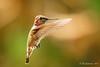 Anna's Hummingbird [Explored] (Bob Gunderson) Tags: annashummingbird birds california calypteanna hummingbirds missiondistrict northerncalifornia sanfrancisco