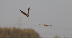 Short-eared Owl chasing juvenile Marsh Harrier-3720 (Theo Locher) Tags: shortearedowl velduil sumpfohreule hiboudesmarais asioflammeus marshharrier bruinekiekendief rohrweihe busarddesroseaux circusaeruginosus birds vogels vogel oiseaux belgium belgie copyrighttheolocher