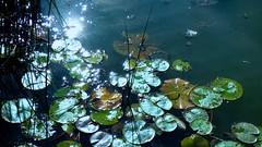 P1340721 PARIS ,   rayon de soleil  sur l'étang  du PARC FLORAL  DE PARIS   BOIS DE VINCENNES   12eme (closier.christophe) Tags: parcfloraldeparis paris vincennes boisdevincennes mare étang pland'eau plantes parcfloral