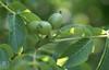 Young walnuts. Forest farm carpark. 28.6.00 (Mary Gillham Archive Project) Tags: 2000 28062000 32113 cardiff commonwalnut forestfarm juglansregia planttree st138805 uk wales unitedkingdom gb