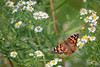 American painted lady (Belle dame) in Tiger version (kenji atse) Tags: insect insects wildlife canon 400m f56 zoom telephoto l 7d mark ii 7dmarkii wallpaper migrate migration fauna insecte butterfly butterflies american painted lady belle dame flowers flower summer quebec canada macropicture