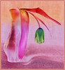 Rainbow Tulip (Kerry711) Tags: sony a77 alpha 1650mm kit lens tulip flower inverted pink green head