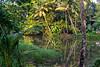 Sunrise reflections in a still river (JohnKuriyan) Tags: kerala india in meenachel kottayam banana coconut sunrise hut aymanam tropics