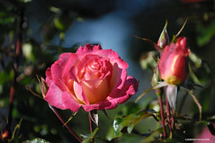 (JSB PHOTOGRAPHS) Tags: d2x277000001 nikon owenmemorialrosegarden eugeneoregon rose roses owenrosegarden bluesky leaves d2x 18300mm
