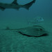 red sting ray perfil