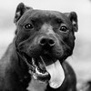Leigh21Oct201715-Edit-Edit.jpg (fredstrobel) Tags: dogs pawsatanta phototype atlanta blackandwhite usa animals ga pets places pawsdogs decatur georgia unitedstates us