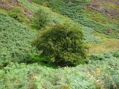 Tree in bracken above Cardingmill Valley