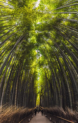 Bamboo Forest (_Hadock_) Tags: bamboo bambo bambu forest bosque green japan kyoto panorama panoramic vertical verde nature wallpaper fondo de pantalla screensaver desktop creative commons comons nikon d750 tamron 2470 japon