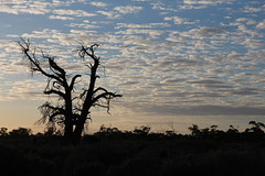 Outback morning (cathm2) Tags: australia nsw outback travel roadtrip morning light sky clouds trees