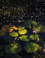 Tropical Watewrlilies, Floresta da Tijuca, Brazil (klauslang99) Tags: nature naturalworld klauslang tropical waterlilies floresta da tijuca brazil flower plants water