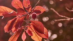 Autumn Impressions (flowerikka) Tags: autumn flora fruits garden herbstanfang impressionen leaves light macro nature season