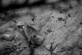 Harbor seal pup monochrome