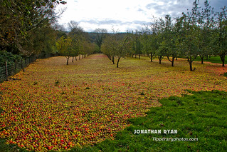 Fallen apples at orchard in Clonmel