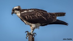 Toe stretching…a pre-cursor to flight! (flintframer) Tags: seahawk osprey preflight wildlife nature wow american dattilo alabama gulf shores canon eos 7d markii ef600 14x