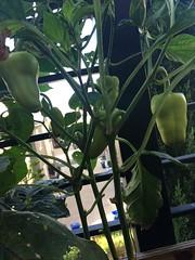 My little balcony - Pepper (kellyagrey) Tags: tomato garden balcony citygarden basil jalapeno pepper gypsypepper fresh food organic greenonion