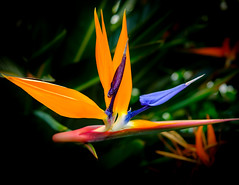 Bird of Paradise Flower, NYBG (vern Ri) Tags: nybg newyorkbotanicgarden blue orange fuji flower flora fiori fleur blumen bloom birdofparadiseflower strelitzia