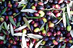 Recogiendo las aceitunas II (La Mary Anne) Tags: olivas aceitunas olives recogidadeaceitunas oliveharvest