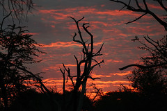 DSC01372 (deepchi1) Tags: africa botswana okavangodelta wildlife gameviewing gametracking biggame safari sunset trees clouds sky red sun down silhouette