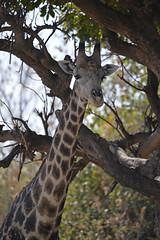 _JMH6558 (joannehedger) Tags: chobe botswana nationalpark joannehedger giraffe giraffacamelopardalistippelskirchi