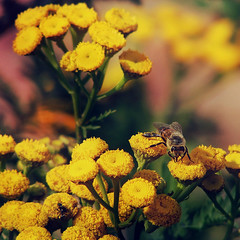 F l o w e r s & B e e (Ƈєℓıα Ɠгαρɦץ'ѕ) Tags: sonydsch1 sonycybershot shot picture photo photographie camera capture nature light flowers grass sun yellowflower bee pollen nectar colors yellow green