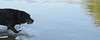 39/52/17 Bow wave (Hodgey) Tags: dog josh lab waves lake water 52weeksfordogs naked